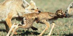 المفترس في البرية له دور مهم في الحد من انتشار الأمراض