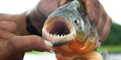 أسماك البيرانا ومميزاتها