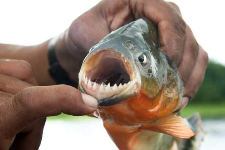 Photo of أسماك البيرانا ومميزاتها